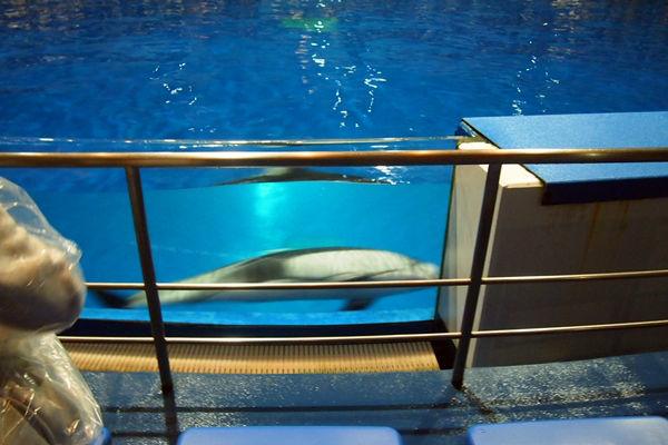泳ぐイルカ