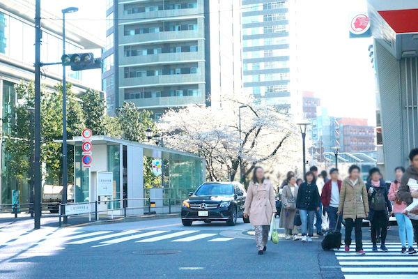 星条旗通りの桜