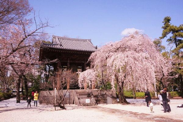 鐘楼堂枝垂れ桜