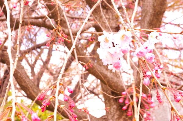 長谷川一夫遺愛の桜