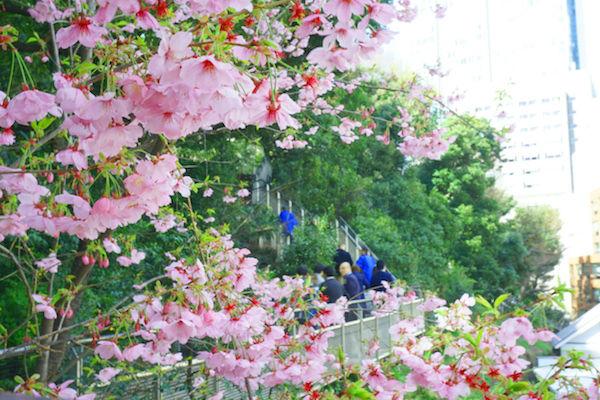 愛宕山の桜