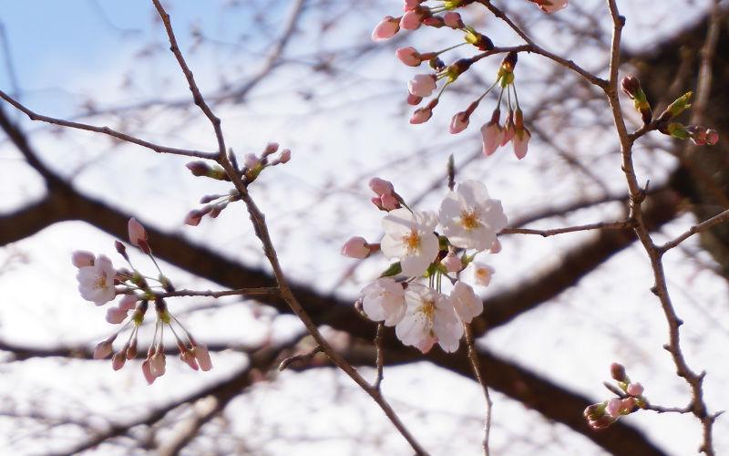 靖国神社桜