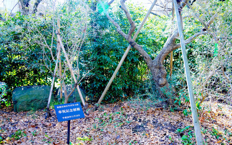 オリーブの木