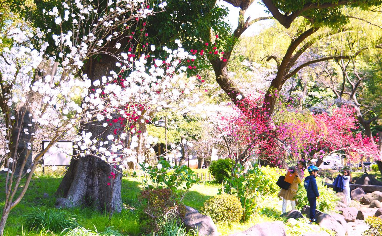 交差点近くの桜
